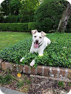 Labrador Retriever/Spaniel (Unknown Type) Mix Dog for adoption in Houston, Texas - Cooper