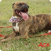 Adopt A Pet :: Ace - Bucyrus, OH