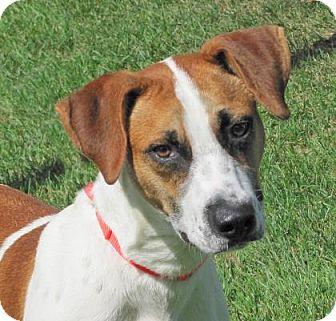 Hound (Unknown Type) Mix Dog for adoption in Woodstock, Illinois - Rudy