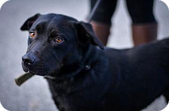 Labrador Retriever Mix Dog for adoption in Lewisburg, West Virginia - Harry
