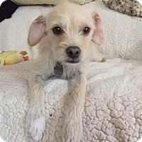 Terrier (Unknown Type, Small) Mix Dog for adoption in San Diego, California - OLIVE