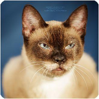 Siamese Cat for adoption in Cincinnati, Ohio - Party