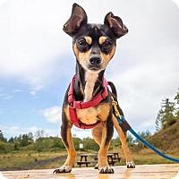 Adopt A Pet :: Jip - Bellingham, WA