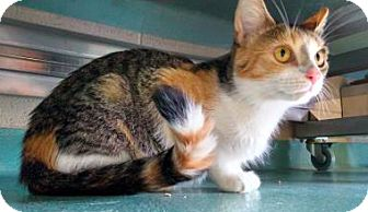 Domestic Shorthair Cat for adoption in Lindsay, Ontario - Cali