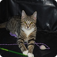Domestic Shorthair Cat for adoption in Exton, Pennsylvania - Pauline (PB)