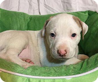 Hound (Unknown Type)/Pit Bull Terrier Mix Puppy for adoption in Barnhart, Missouri - Mr Flanders