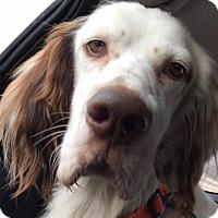 Adopt A Pet :: OLIVER - Pine Grove, PA