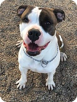 American Bulldog Mix Dog for adoption in Chicago Heights, Illinois - Maggie