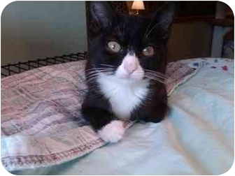 Domestic Shorthair Kitten for adoption in Erie, Pennsylvania - Sylvia