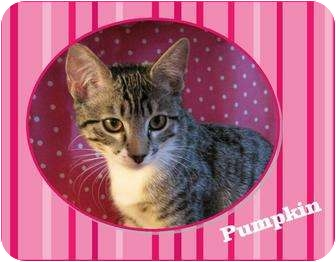 Domestic Shorthair Kitten for adoption in Encinitas, California - Pumpkin