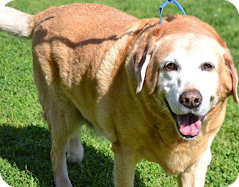 Labrador Retriever Mix Dog for adoption in Simi Valley, California - Jordan