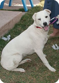 Labrador Retriever Mix Dog for adoption in Phoenix, Arizona - Chalupa