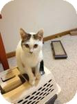 Domestic Shorthair Kitten for adoption in Pittstown, New Jersey - Peanut
