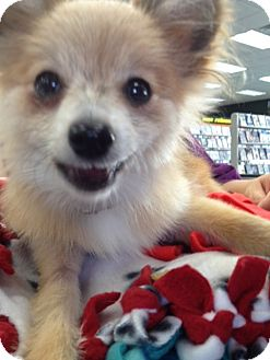 Pekingese/Pomeranian Mix Puppy for adoption in Youngstown, Ohio - Sonny ~ Adoption Pending