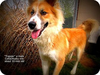 Collie/Husky Mix Dog for adoption in Gadsden, Alabama - Trapper