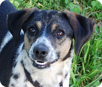 Beagle/Jack Russell Terrier Mix Dog for adoption in Allentown, New Jersey - Marie-ADOPTION SPECIAL
