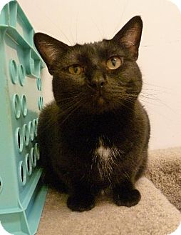 Domestic Shorthair Cat for adoption in Westville, Indiana - Devinity