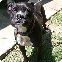 Boxer Dog for adoption in Odenville, Alabama - Ariel