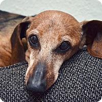 Adopt A Pet :: Anton - Decatur, GA