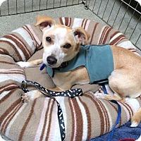 Adopt A Pet :: Xena - West Los Angeles, CA