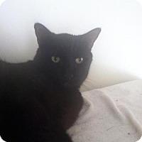 Domestic Shorthair Cat for adoption in New Bedford, Massachusetts - Shiloh