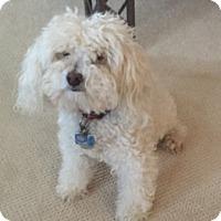 Adopt A Pet :: Ragz - Fairfax, VA