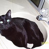Domestic Shorthair Cat for adoption in Walnut Creek, California - Hugo