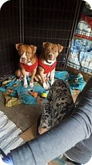 Pit Bull Terrier Mix Puppy for adoption in Sacramento, California - Jake