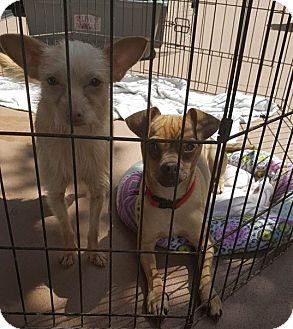 Terrier (Unknown Type, Small)/Chihuahua Mix Dog for adoption in San Diego/Imperial Beach, California - Pippi Pan the Pixie!
