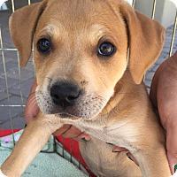 Adopt A Pet :: Caroline - Scottsdale, AZ