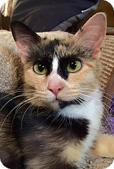 Domestic Shorthair Cat for adoption in Edmond, Oklahoma - Roxie