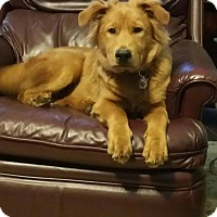 Chow Chow/Shepherd (Unknown Type) Mix Puppy for adoption in Holly Springs, North Carolina - Keller