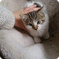 Domestic Shorthair Kitten for adoption in THORNHILL, Ontario - Hazel Mae