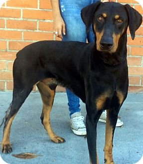 Doberman Pinscher Dog for adoption in Los Angeles, California - INDIGO (video)