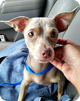 Chihuahua/Terrier (Unknown Type, Small) Mix Dog for adoption in McKinney, Texas - Dobby
