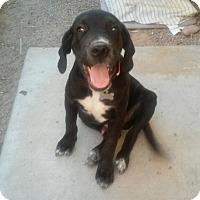 Adopt A Pet :: Jackson formerly Jim Morrison - Las Vegas, NV