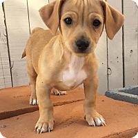 Adopt A Pet :: Gatlin - Tucson, AZ