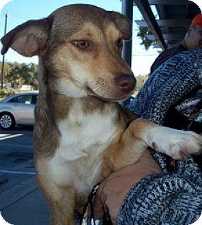 Shepherd (Unknown Type)/Catahoula Leopard Dog Mix Dog for adoption in Von Ormy, Texas - Tootsie
