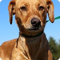 Beagle/Basenji Mix Dog for adoption in Glastonbury, Connecticut - Naple