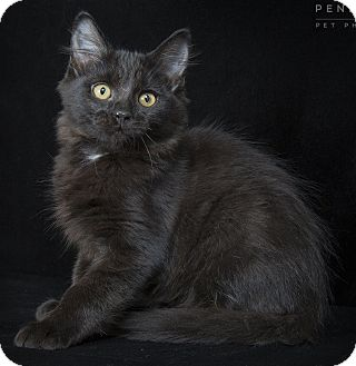 Maine Coon Kitten for adoption in Nashville, Tennessee - Ricky