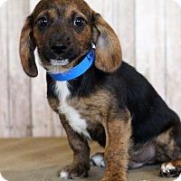 Adopt A Pet :: Hershey - Waldorf, MD