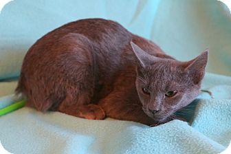 Russian Blue Kitten for adoption in Spring Valley, New York - Elaina