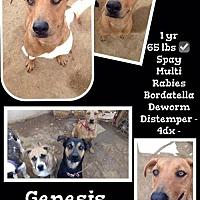 Adopt A Pet :: Genesis NEEDS FOSTER - Denver, CO