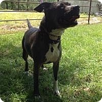 Pit Bull Terrier Mix Dog for adoption in Kingwood, Texas - Miracle2