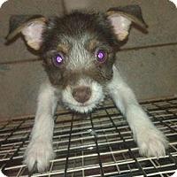Adopt A Pet :: Bacall - Phoenix, AZ