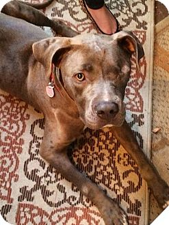 Pit Bull Terrier Mix Dog for adoption in Santa Monica, California - Savannah