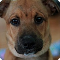 Adopt A Pet :: Ashley - Sunnyvale, CA