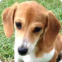 Adopt A Pet :: Bruno Betzel - Houston, TX