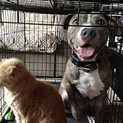 Photo 3 - Pit Bull Terrier Mix Dog for adoption in Orlando, Florida - Egypt