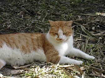 Domestic Shorthair Cat for adoption in Bonita Springs, Florida - Roger